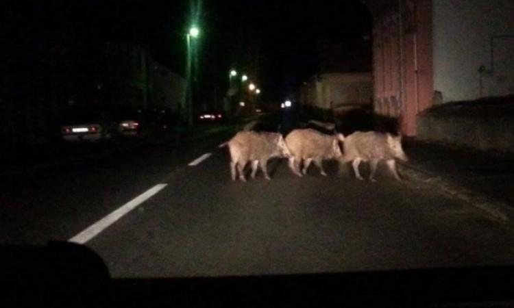 RANO JUTROS U PAKRACU   Divlje svinje u centru grada!