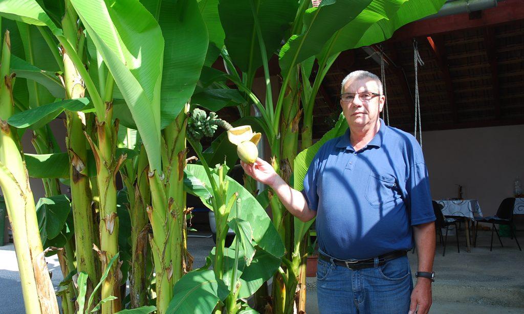 U dvorištu obitelji Širac: Banane rastu i u Pakracu