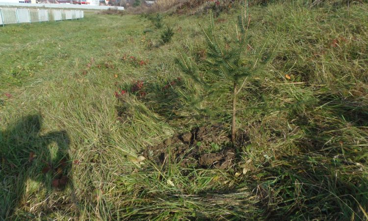 GRADSKI NOGOMETNI STADION: Zasađen drvored smreka