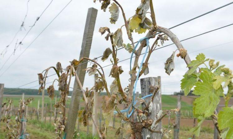 ELEMENTARNA ŠTETA NA USJEVIMA Štetu prijavilo 11 poljoprivrednika