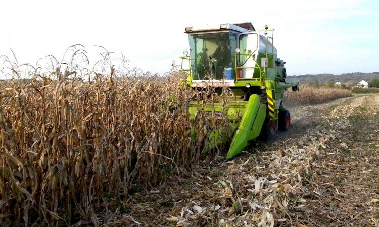 POLJOPRIVREDA LIPIK Soja požnjevena, uskoro berba kukuruza
