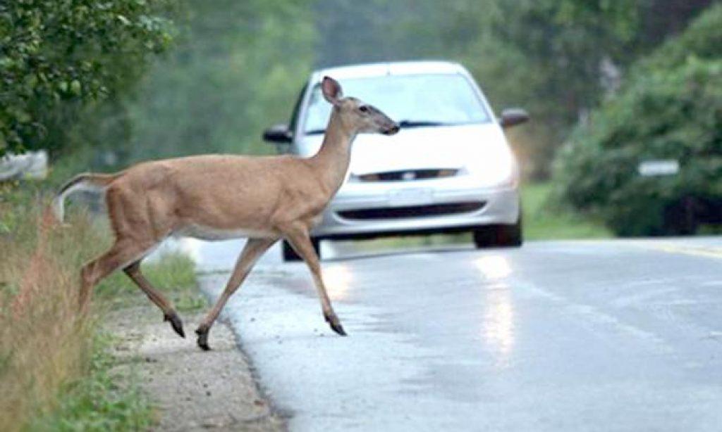 POLICIJA UPOZORAVA VOZAČE Životinje sve češće u prometnim nesrećama