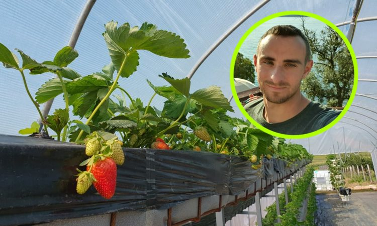 OPG BRINJAK Umjesto u širinu, jagode sadimo u visinu!